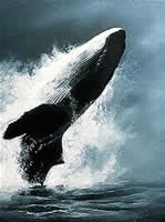 Breaching Humpback whale<br>Painting by Karel Doruyter